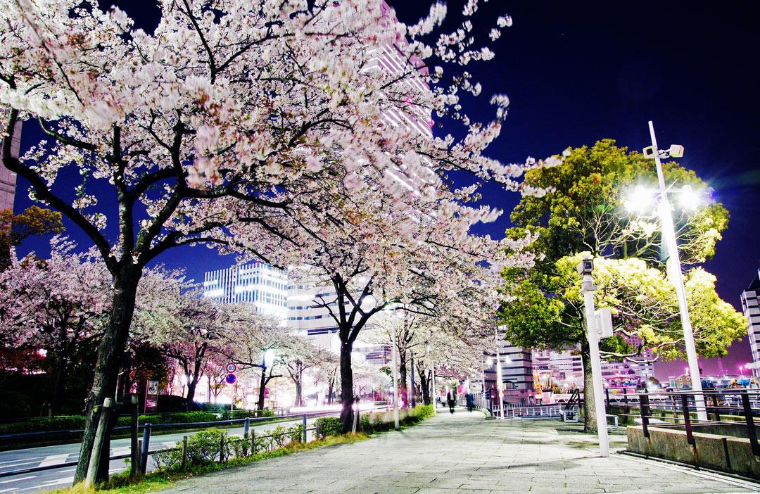 Yokohama_Cherryblossom