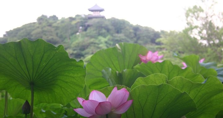 Sankeien_Garden_Lotusblüte