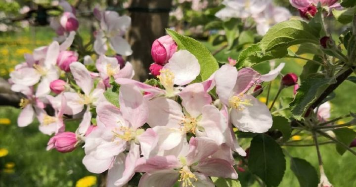 BlütenfestLohrberg2018-Apfelblüte